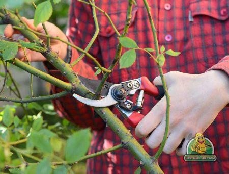 Saanich Pruning